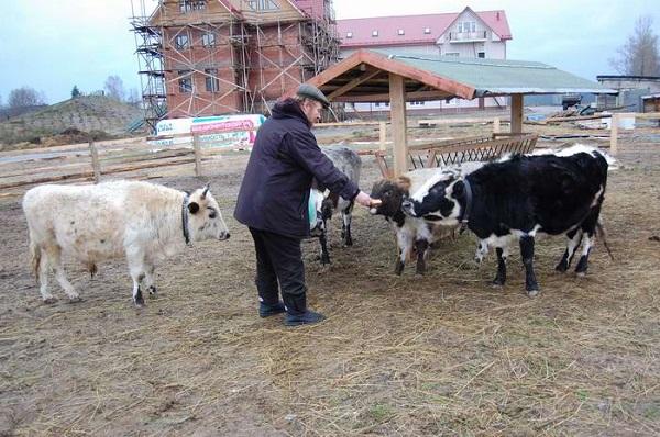 Обзор якутской породы коров, ее описание и фото