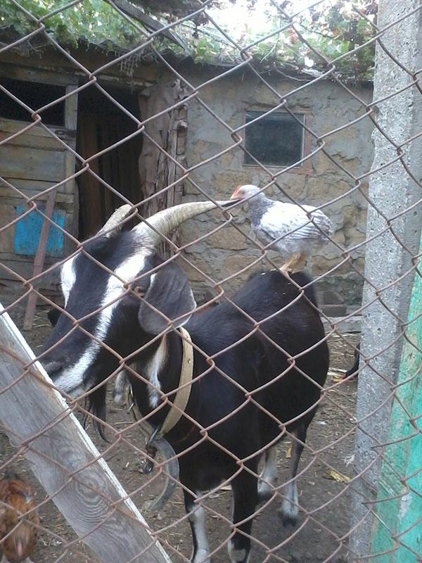 Верхом на козе - Фермерский сайт
