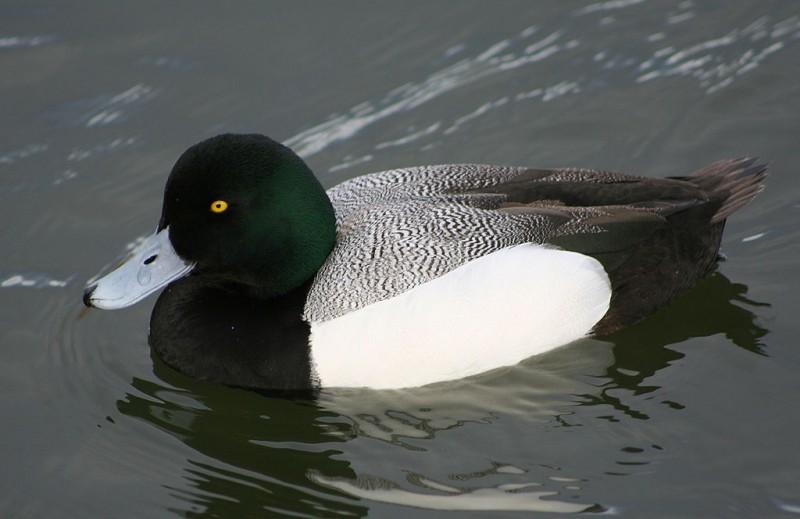 Речные тихони и прекрасные ныряльщики — дикие нырковые утки!