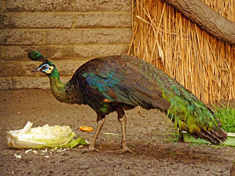 Яванский подвид птиц питается капустой