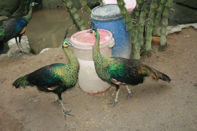 Бирманский подвид птиц
