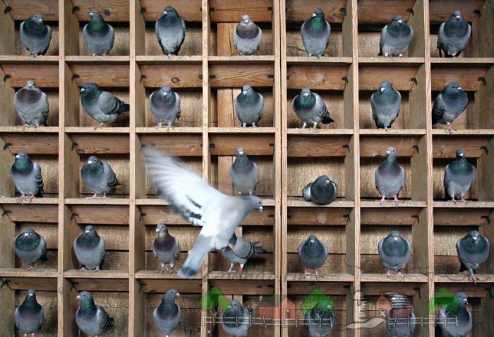 Спортивные голуби в деревянном домике
