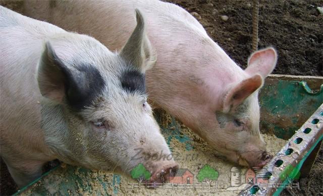 Свиньи едят комбикорм из кормушки