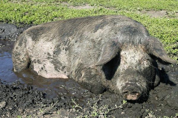 Свинья валяется в грязи