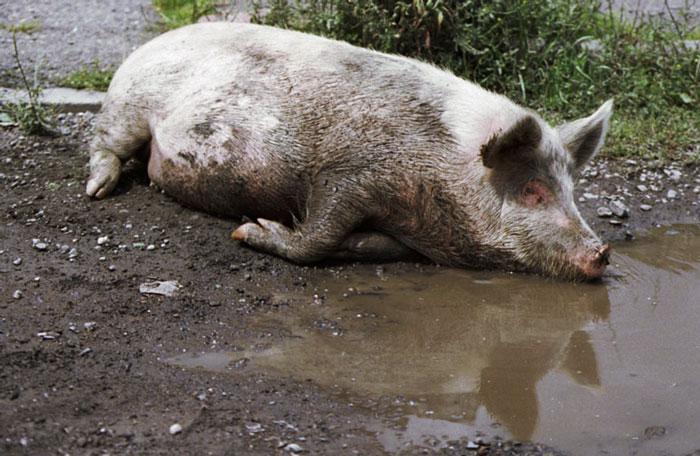Поросенок лежит в грязной луже