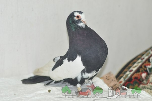 Сизый курский голубь
