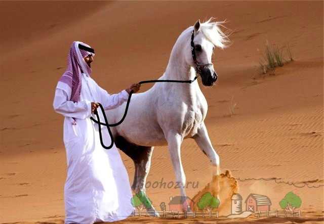 Араб со своим белым скакуном