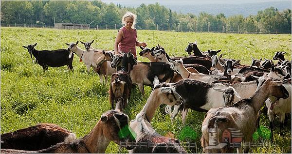 Стадо альпийских коз на ферме