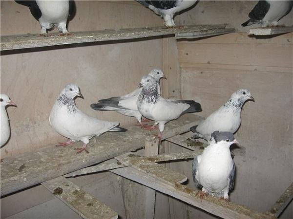Иранские представители голубиных