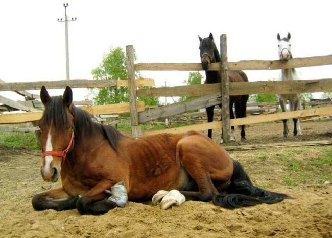 Больной конь лежит в загоне