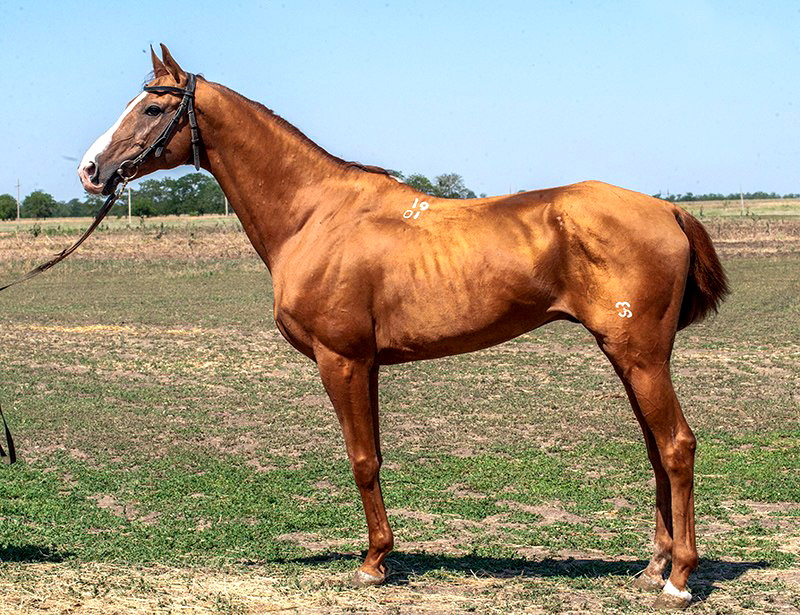 Буденновская лошадь золотистого цвета