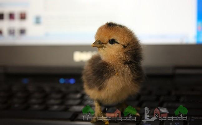 Маленький птенчик на клавиатуре