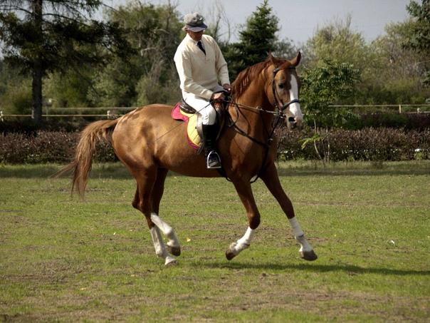 Донской конь под седлом спортсмена