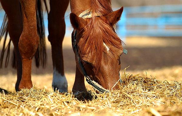 Рыжий конь ест сено