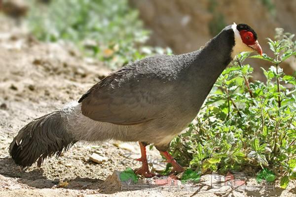 Красивый фазан в дикой природе
