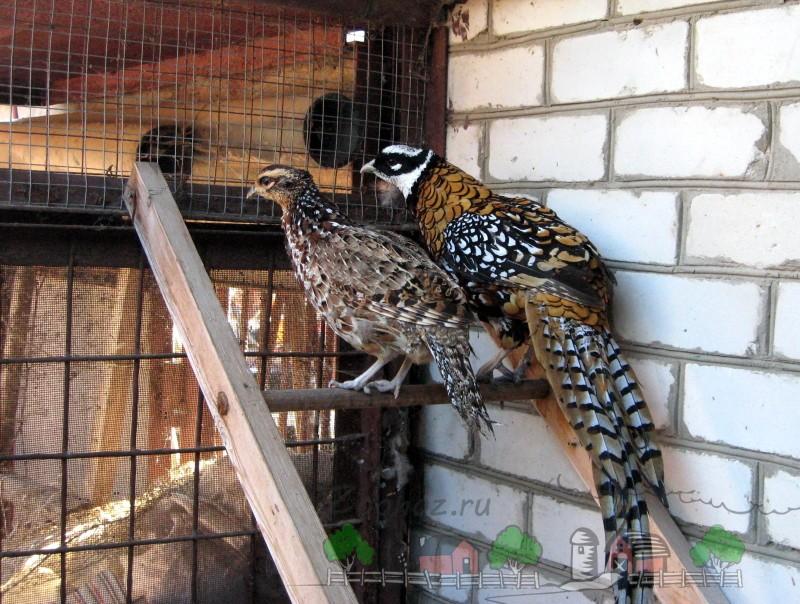 Самец и самка фазана на лестнице