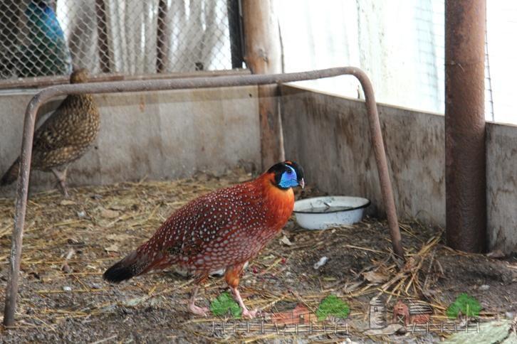 Два фазана в птичнике