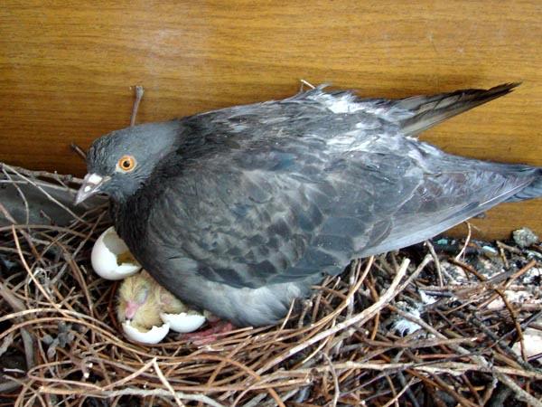 Голубка на гнезде