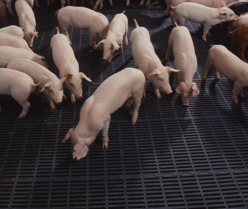 Изготавливаем щелевые полы для свинарников своими руками
