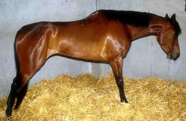 Лошадь страдает от коликов