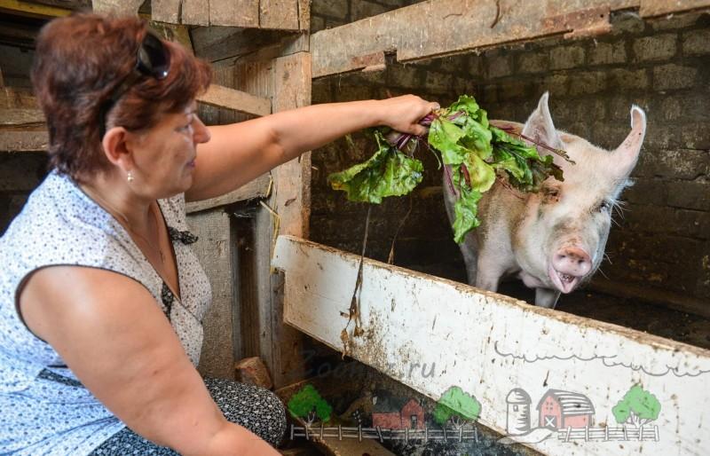 Хозяйка кормит своего хряка