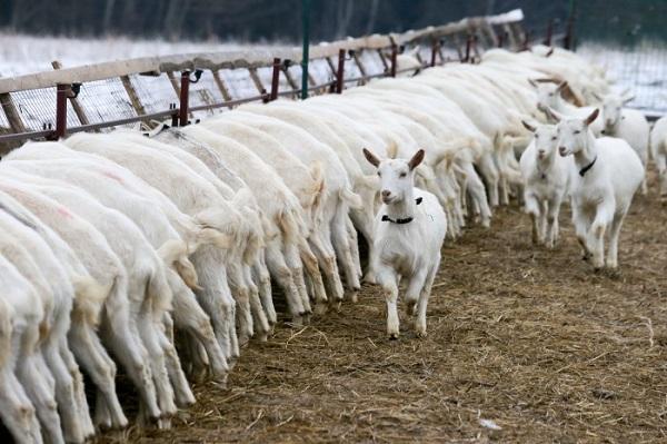 Зимнее кормление коз на выгуле