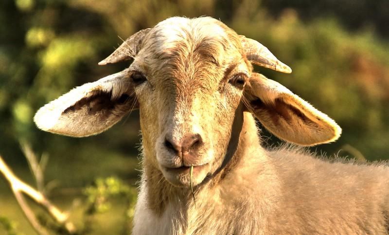 Самые интересные факты о козах, видео и фото обзор