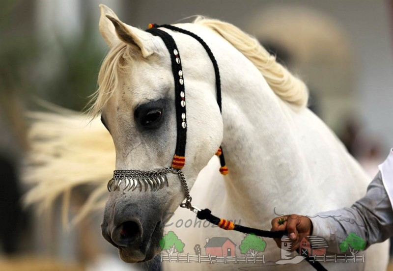 Арабская лошадь и жеребец: обзор чистокровной породы скакунов с фото и видео