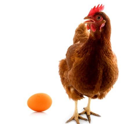 Молодая несушка и яйцо