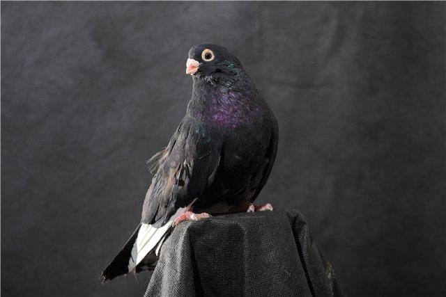 Чистопородный Курский голубь