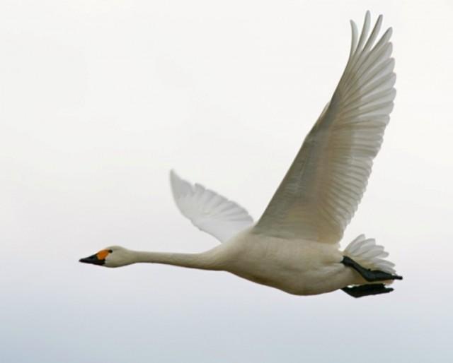 Красивая белая птица в полёте