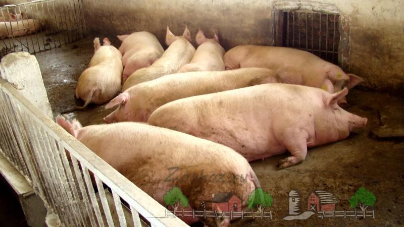 Свиньи лежат без подстилки