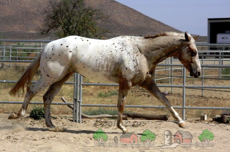 Чубарая лошадь в загоне