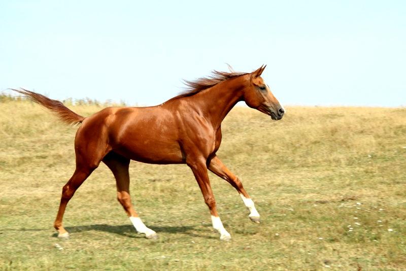 Молодой конь донской породы