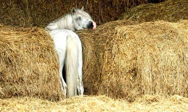 Белая лошадь в копнах сена