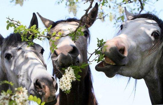 Лошади грызут молодые веточки