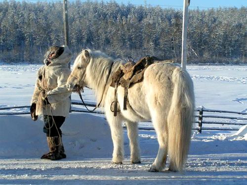 Обзор якутской породы лошадей, ее описание и фото