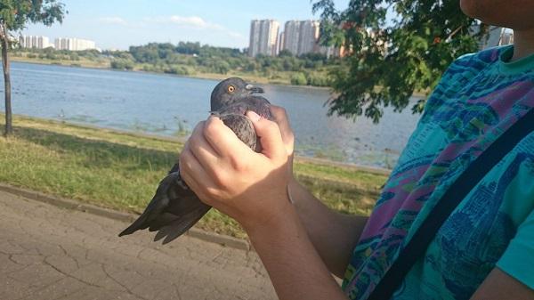 Пойманный руками голубь