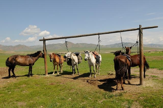 Монгольские скакуны на привязи