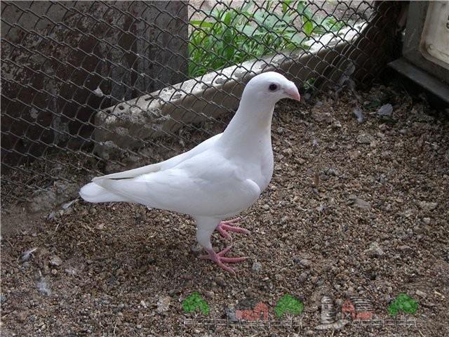 Немецкий почтовый белый голубь
