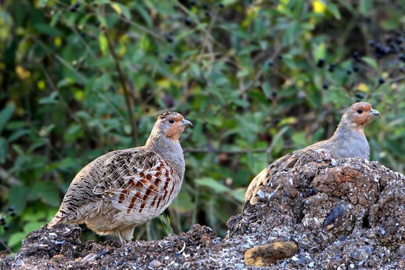 Самка и самец в заповеднике
