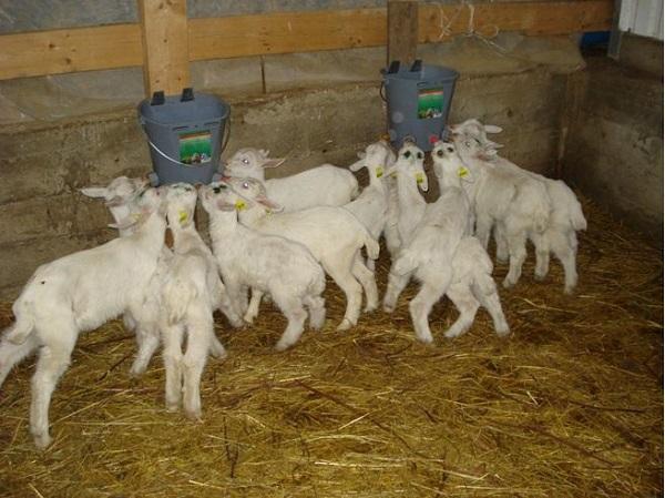 Маленькие козлята кормятся