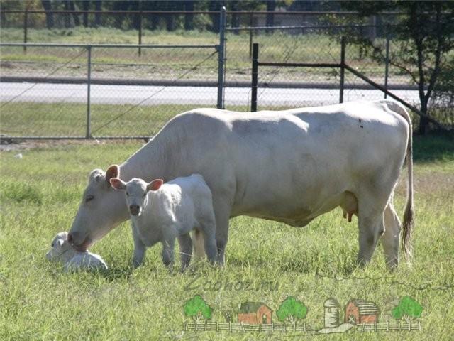Корова породы Шароле с телятами