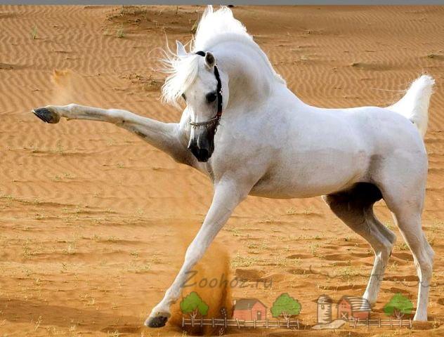 Белый жеребец на песке
