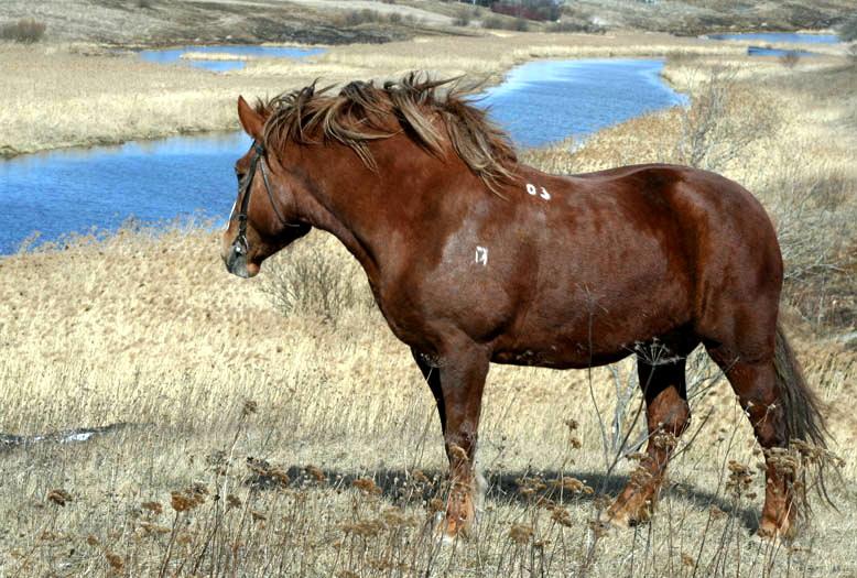 Русский степной конь