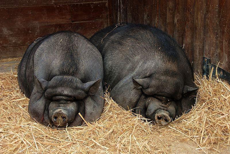 Вьетнамские свинки отдыхают