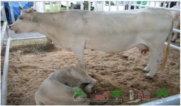 Украинская мясная порода коров