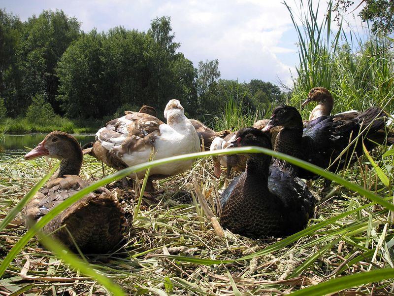 Красивые уточки в траве