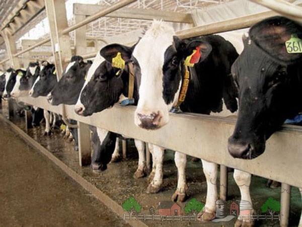 Знаменские коровы на ферме