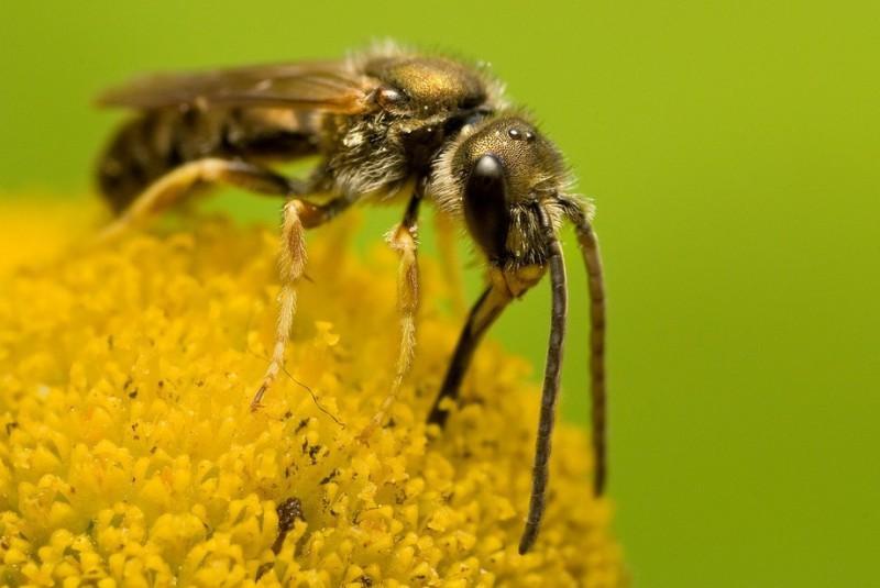 Пчела собирает нектар с растения